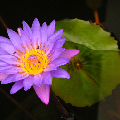 indonesia-a-purple-lotus-flower-photo.jpg